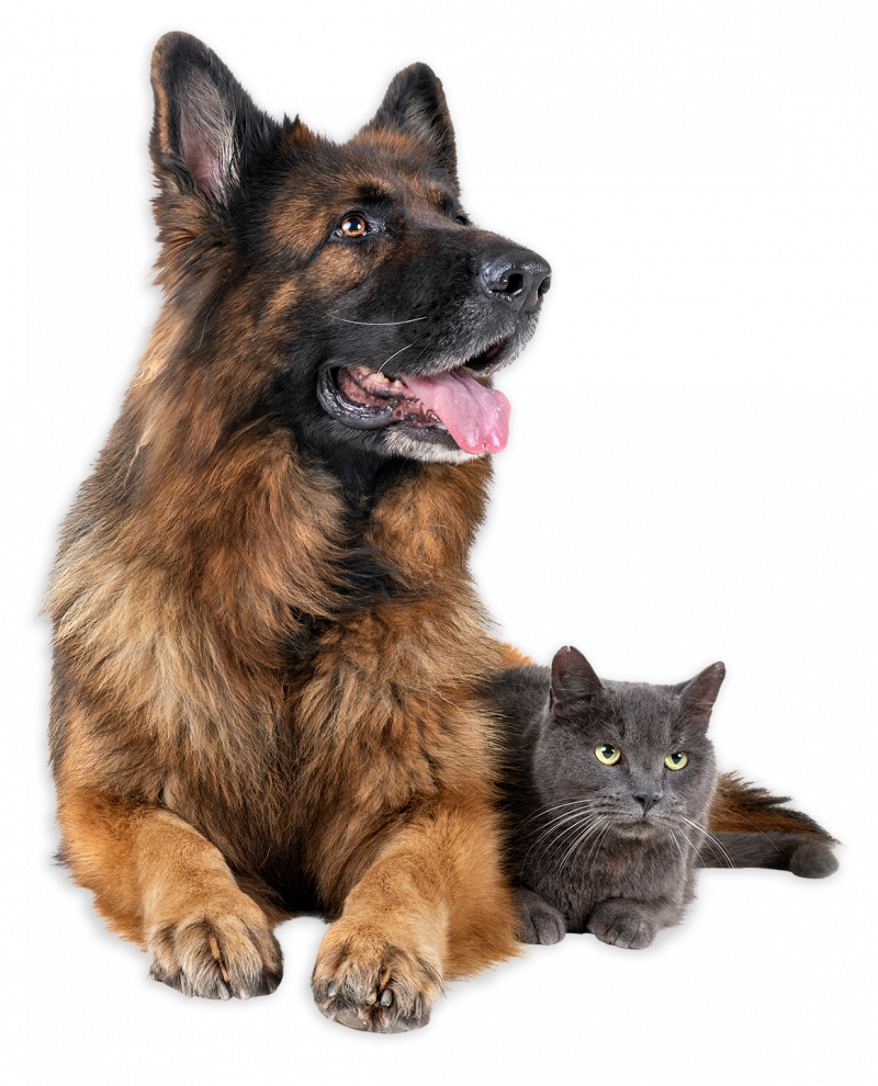 German shepherd and gray cat laying down